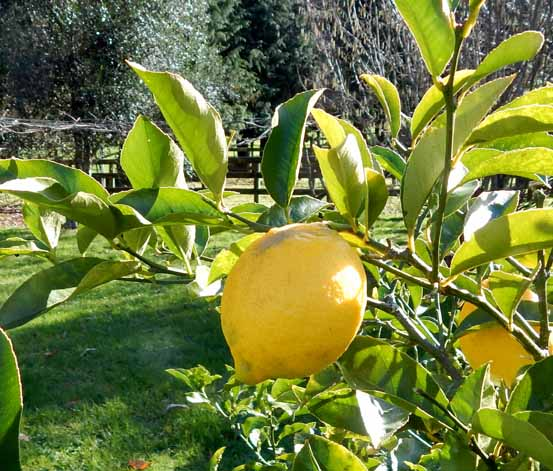 The adjacent orchard has lemons, walnuts, oranges, grapes and a wide range of other fruit to enjoy