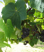 Grapes in the orchard at Lupton Lodge