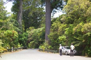 Driving to Waipoua Forest